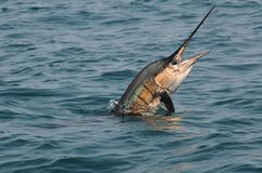 Sailfish jumping out of the water Royalty Free Stock Photos