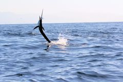 Swordfish Sailfish jumping out of the water Royalty Free Stock Image