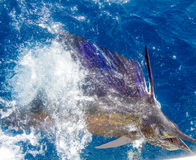 Sailfish release. Pacific sailfish tagged and released in Costa Rica Royalty Free Stock Images