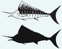 Sailfish saltwater fish Royalty Free Stock Photo
