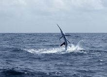 Sailfish saltwater sport fishing jumping Stock Images