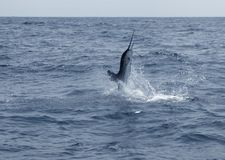 Sailfish saltwater sport fishing jumping Stock Image