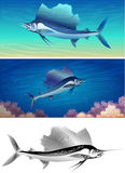 Sailfish set. Set of sailfishes including three images - isolated sailfish in black and white and two sailfishes against different colour sea background Royalty Free Stock Photography