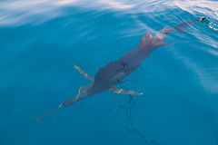 Sailfish sportfishing close to the boat with fishing line Royalty Free Stock Image