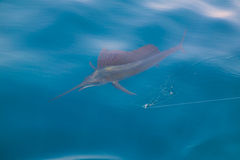 Sailfish sportfishing close to the boat with fishing line. Under surface royalty free stock image