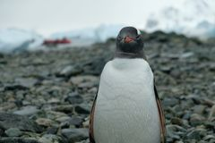 Antarctica Gentoo penguin stands on rocky beach with water drops on feathers, red boat stock photo