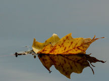 Sailing Away. A fallen leaf and its reflection on the surface of a lake royalty free stock photos