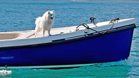 Sailing Cruising Lifestyle, Australia. Colourful nautical image of an excited white fluffy Spitz dog standing on the deck of an old style blue boat, motoring on stock images