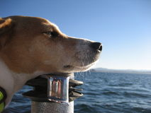 Sailing Dog Royalty Free Stock Photos