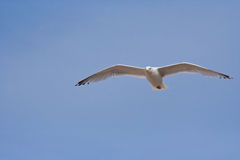 Sailing seagull Royalty Free Stock Photos