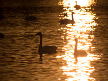 Sailing swans in the backlight Royalty Free Stock Photography