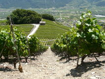 Saillon wine ranks rhone valley wallis switzerland Stock Photography