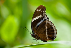Sailor butterfly Royalty Free Stock Photos