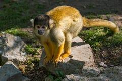 Saimiri boliviensis monkey standing on the rock. Looking around stock photo
