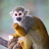 Saimiri de singe-écureuil de bébé mangeant du maïs éclaté ! Photos stock