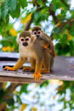 Saimiri monkey with its cute little baby. Stock Photos
