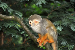Saimiri monkey in tree Stock Image