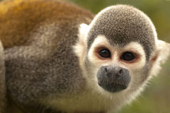 Portrait Of Cute Small Common Squirrel Monkey Royalty Free Stock Image