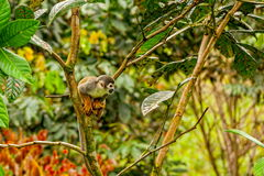 Common squirrel monkey playing in the trees Stock Photos