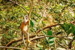 Common Squirrel Monkey Playing Royalty Free Stock Photography