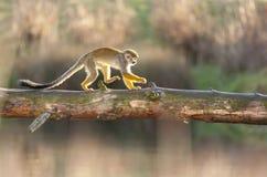 Saimiri Sciureus - обезьяна белки Стоковые Фотографии RF