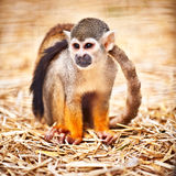 Saimiri sciureus. Squirrel monkey sitting, nice blurred background Royalty Free Stock Photos
