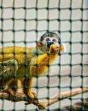 Saimiri sciureus Affe im Zoo in der Zitadelle von Besançon Lizenzfreie Stockfotos