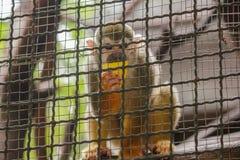 Saimiri sciureus in a cage royalty free stock photography