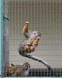 Saimiri sciureus. Common squirrel monkey (Saimiri sciureus Royalty Free Stock Images