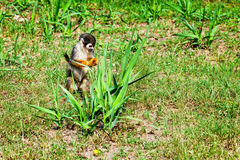 Squirrel Monkey, Amazonian Jungle Royalty Free Stock Photo