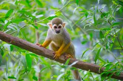 Saimiri sciureus. Is a small monkey from the Cebidae family, which inhabits the territory of South America Stock Photo