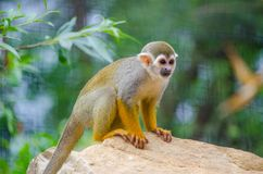 Saimiri sciureus. Is a small monkey from the Cebidae family, which inhabits the territory of South America Royalty Free Stock Image