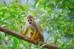 Saimiri sciureus. Is a small monkey from the Cebidae family, which inhabits the territory of South America Royalty Free Stock Photo