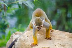 Saimiri sciureus. Is a small monkey from the Cebidae family, which inhabits the territory of South America Stock Images