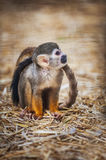 Saimiri sciureus. Squirrel monkey sitting, nice blurred background Stock Image