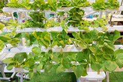 Sain végétal organique Photographie stock