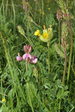 Sainfoin Royalty Free Stock Images