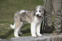 Saint Berdoodle Puppy Tri-Colour royalty free stock photography
