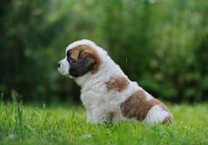 Saint Bernar puppy sitting in the grass. Under the rain Stock Photos