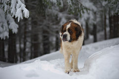 Saint Bernard Royalty Free Stock Photos