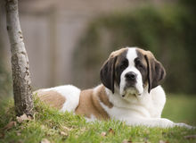Saint Bernard. Dog sitting in the yard Royalty Free Stock Images