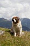 Saint bernard. Dog in the mountains Royalty Free Stock Photo