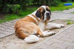 Saint Bernard. Dog resting on the driveway stock photos