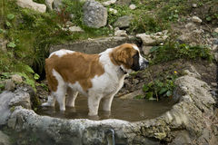 Saint bernard Stock Photos