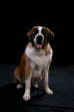 Saint bernard against black Stock Photos