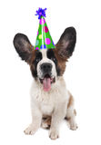 Saint Bernard With a Birthday Hat Stock Photos