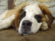 Saint Bernard cub. A Saint Bernard puppy Royalty Free Stock Photo