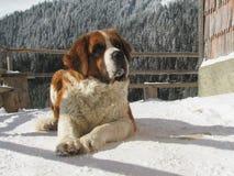 Saint Bernard dog. In the mountains Stock Photos