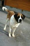 Saint-Bernard dog. Looks sad Royalty Free Stock Photography