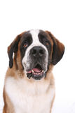 Saint Bernard dog. Portrait of a Saint Bernard against a white background Stock Photo